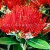 11009-16813  Pohutukawa (Metrosideros excelsa) scarlet flowers from Rangitoto *