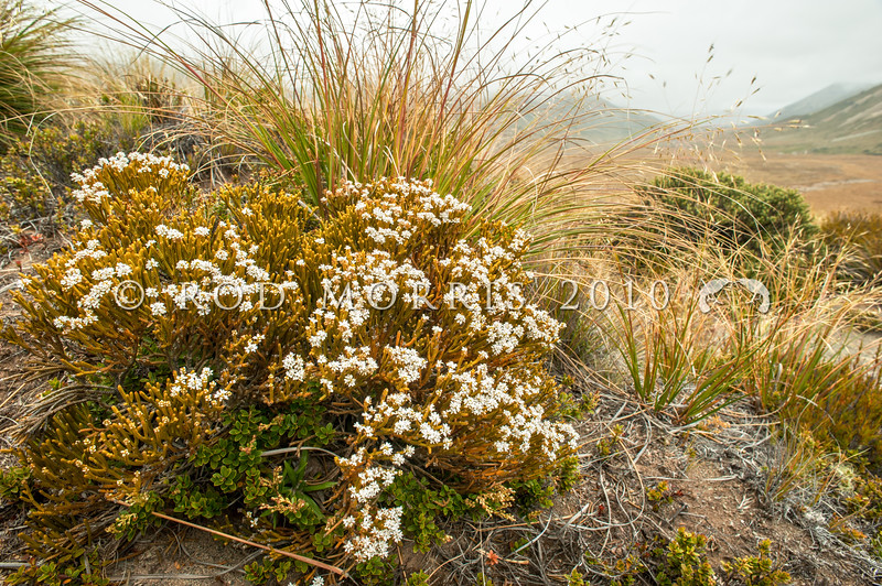 DSC_1639 Whipcord hebe (Hebe lycopodioides) flowering shrub in tussock. Usually the most common whipcord of the drier, eastern snow tussock-shrublands, grasslands and herbfields. Lake Tennyson *