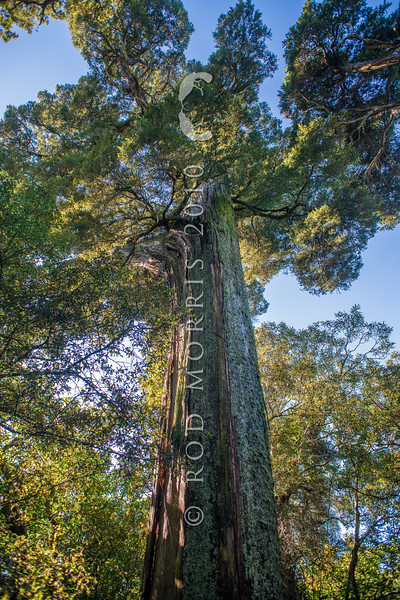 DSC_4976 Totara (Podocarpus totara var. totara) trunk of an ancient 400+ year old tree in Peel Forest *