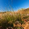 DSC_4741 Knobby club rush, or wiwi (Ficinia nodosa) in habitat. A rhizomatous perennial rush found in a wide range of habitats including coastal sand dunes. It has dark green round stems with a characteristic small dense seedhead near the sharp pointed tip of each stem. Okia Flat, Otago Peninsula *