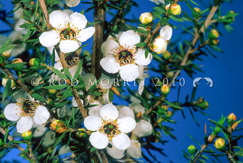 11009-16505 Manuka (Leptospermum scoparium var. linifolium) white flowers of the Waikato form of manuka. Honey derived from the nectar of these flowers is claimed to have antibacterial properties because of its methylglyoxyl content
