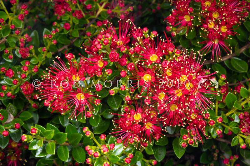DSC_2964 Carmine rata (Metrosideros carminea) detail of crimson flowers from kauri forest in Northland *