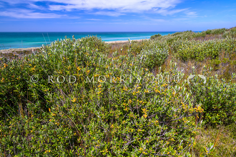 DSC_3272 Hokataka (Corokia macrocarpa) a large shrub which can grow to 6m tall in bush reserves. However it prefers sites near the sea, such as these shrubs, covered in orange-yellow fruit, growing behind the dunes in Hanson Bay, Chatham Islands *