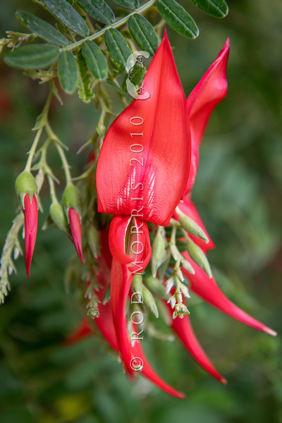 DSC_2910  Northern kakabeak, or kowhai ngutukaka (Clianthus puniceus) scarlet flowered form, now critically threatened in the wild. Historic range is unclear because of Maori plantings, but probably endemic to Northland and the eastern Auckland portion of the Hauraki Gulf. The only known wild population grows in short coastal scrub on talus at the base of eroding mudstone cliffs. Maori grew it for its flowers and gifted seeds as koha, while European settlers were quick to cultivate it in their gardens, although probably some garden lines of C. puniceus (which may represent historic extinct populations) may now have died out.. Flowering forms in cultivation are either scarlet, pink or entirely white.  *