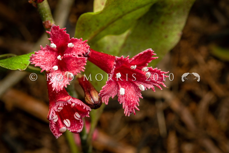 DSC_5589 Toropapa (Alseuosmia macrophylla) red 'frilled' flowers. A small glossy shrub of North Island forests, with strong-smelling, pink to red tubular flowers which may vary in size, and the level of 'frilling' at the tips of the petals. Unfortunately it is heavily browsed by ungulates and possums nowadays, and rarely sets much viable seed in mainland forests, where endemic nectar feeding birds are now troubled by ship rats. Kauaeranga River, Coromandel *