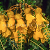 11009-19414 Cook Strait kowhai (Sophora molloyi) flowers. This kowhai species is more of a shrub than a tree with a very long flowering time. It grows on harsh and inhospitable sites on dry exposed headlands around Cook Strait, Kapiti Islands and parts of the lower North Island. Stephens Island *