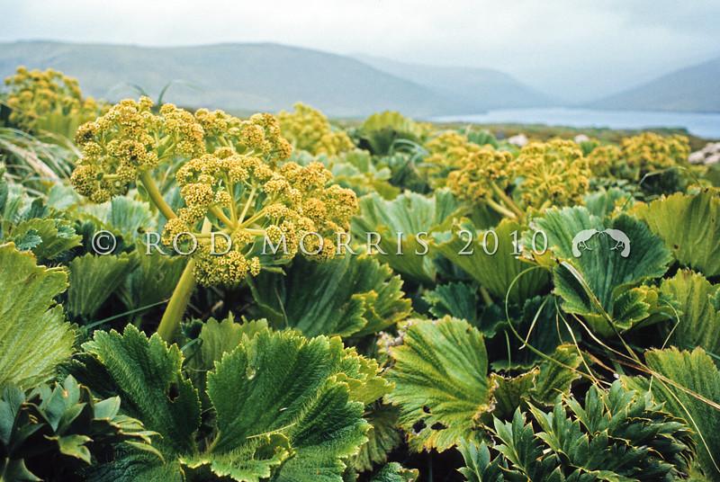 11009-24001 Macquarie Island cabbage (Stilbocarpa polaris) a field of flowering plants in 'Fairchilds Garden' on Adams Island, Aucklands Group *