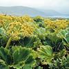 11009-24001 Macquarie Island cabbage (Stilbocarpa polaris) a field of flowering plants in 'Fairchilds Garden' on Adams Island, Aucklands Group