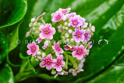 DSC_2858  Chatham Island forget-me-not (Mysotidium hortense) rare pink flowered form *