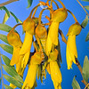 11009-19303 Large-leafed kowhai (Sophora tetraptera) flowers. A popular native tree growing up to 10 metres tall, grows along streamsides and lowland forest margins from East Cape to Hawkes Bay. Lake Taupo