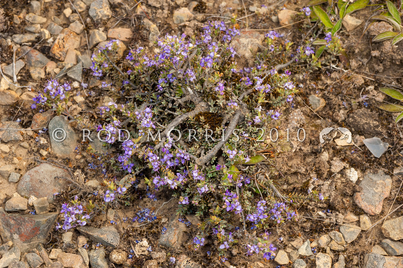 DSC_8471 Hebe (Veronica pimeleoides pimeleoides) a low growing blue-green shrub bearing pairs of small oval leaves on reddish stems inhabiting dry valleys in the South Island. Flowers purplish, in spikes of up to 12 flowers. Lake Tennyson *