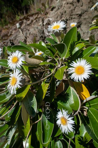 DSC_8364 Marlborough rock daisy (Pachystegia insignis) flowering plant on rock bluff, Clarence River Valley, Marlborough