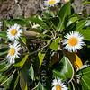 DSC_8364 Marlborough rock daisy (Pachystegia insignis) flowering plant on rock bluff, Clarence River Valley, Marlborough *