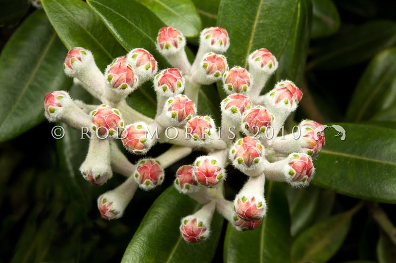 DSC_3155  Pohutukawa (Metrosideros excelsa) developing flowerbuds of the cultivar 'Vibrance', sourced from Waiomu Bay, Coromandel Peninsula. Growing in garden on Otago Peninsular *