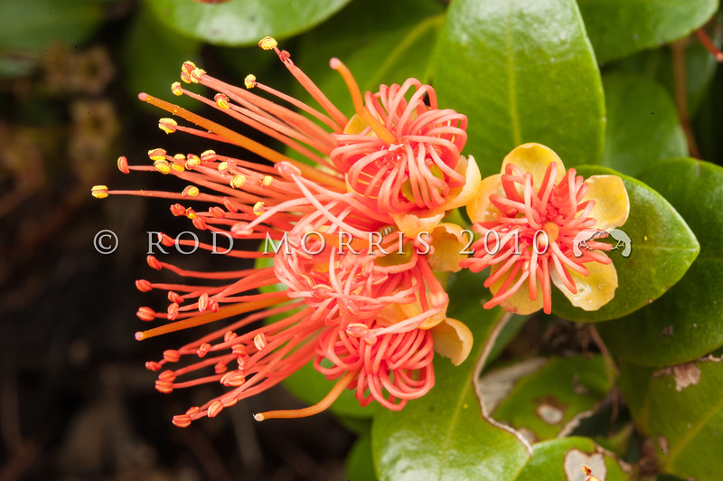 DSC_7729 Orange climbing rata, or akatawhiwhi  (Metrosideros fulgens) orange flowers in forest, Coromandel Peninsula *