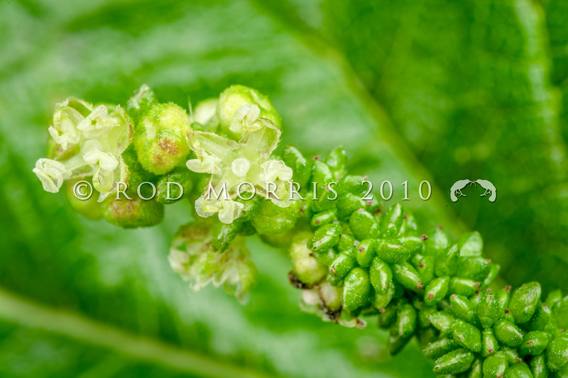 DSC_1210 Southern nettle (Urtica australis) detail of tiny flowers. An endemic giant nettle found at the western end of the South Island, the Chatham Islands, Stewart Island and some subantarctic islands. Enderby Island, Aucklands Group *