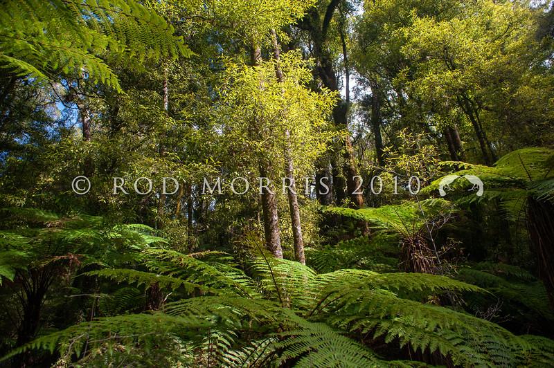 DSC_3090 Tawa (Beilschmiedia tawa) forest interior. Whirinaki *