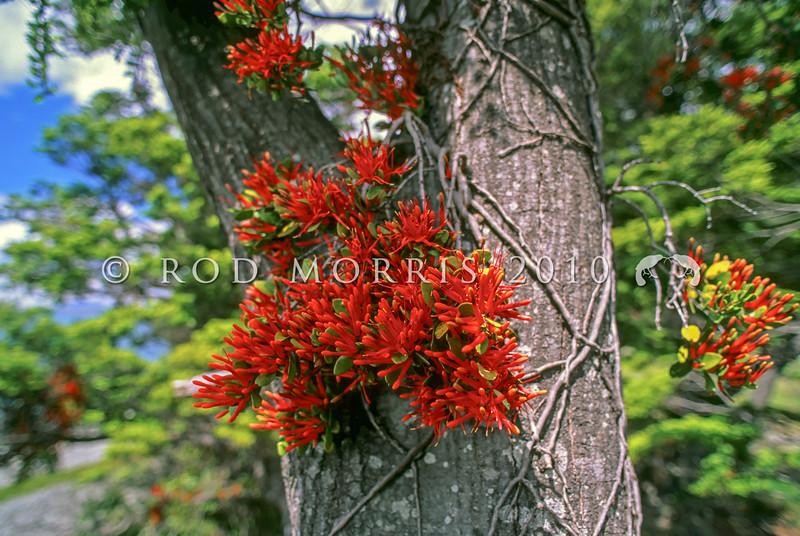 11009-23004 Red mistletoe or pikirangi (Peraxilla tetrapetala) flowering on mountain beech. Lake Ohau *