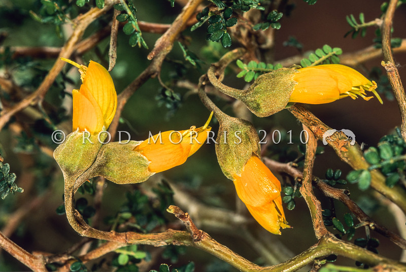 11009-19321 Prostrate, or mountain kowhai (Sophora prostrata) flowers. A densely divaricating, bushy shrub up to 2 metres, found in grasslands and rocky places in the eastern lowland mountain regions from Marlborough south to the banks of the Waitaki River South Canterbury. Marlborough *