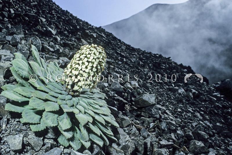 11009-11801  Penwiper (Notothlaspi rosulatum) flowering on scree. Seaward Kaikouras *