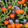 11009-06128  Kahikatea (Dacrycarpus dacrydiodes) detail of ripe fruit on tree. Ship Creek, South Westland *