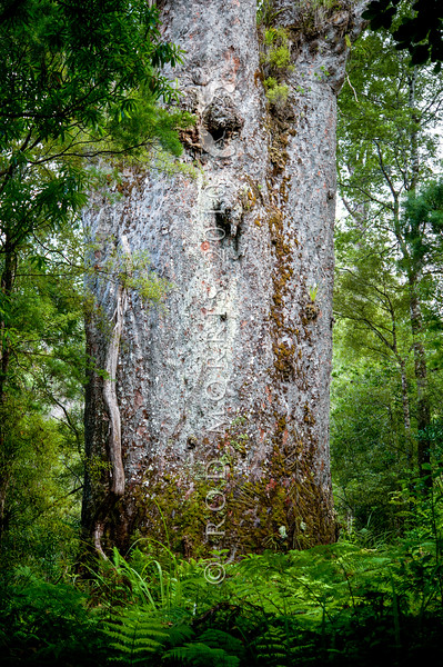 DSC_5752 Kauri (Agathis australis) the massive trunk of Te Matua Ngahere (father of the forest), the second largest kauri still standing in Waipoua forest, a remnant of the ancient subtropical rainforest that once grew on the North Auckland Peninsula. Although not as massive or tall as its neighbour Tāne Mahuta, Te Matua Ngahere is stouter, with a girth just over 16 metres (52 ft). Waipoua Forest, Northland *