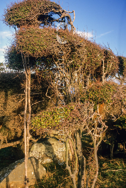 11009-31003 Small-leaved coprosma (Coprosma propinqua) wind-shorn shrubs on the Otago Peninsula