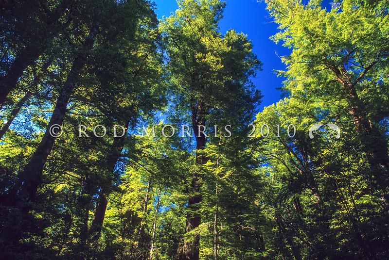 11009-21309 Red beech (Fuscospora fusca) forest canopy. Clinton Valley, Fiordland
