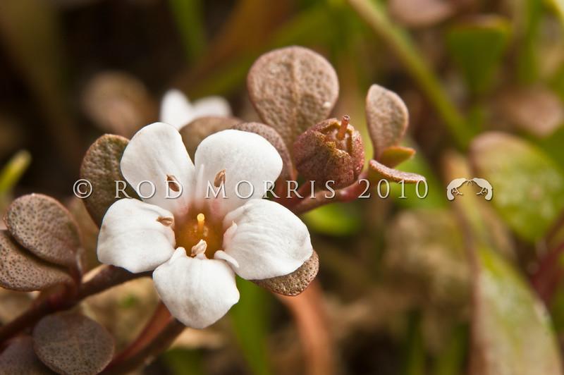 SC_1723 Sea primrose, or maakoako (Samolus repens) detail of the leaf and small white flowers. Purakanui Inlet, Otago *