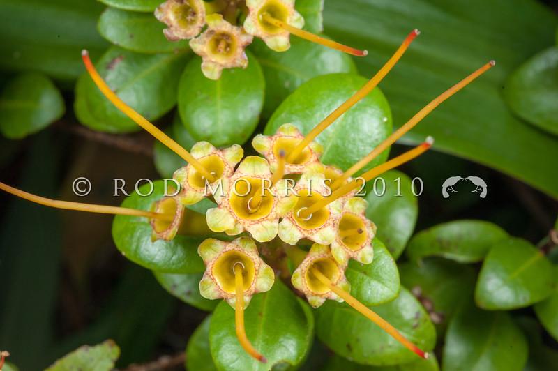 DSC_7719 Orange climbing rata (Metrosideros fulgens) orange flowers in forest, Coromandel Peninsula.