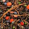 11009-06139  Kahikatea (Dacrycarpus dacrydiodes) a layer of fallen fruits and seeds carpets the forest floor beneath a heavily fruiting tree. Ship Creek, Westland *