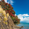 DSC_3560  Pohutukawa (Metrosideros excelsa) a lone flowering tree growing on coastal cliffs. Pohutukawa once formed extensive forests around our northern coastlines. Coromandel Peninsula *