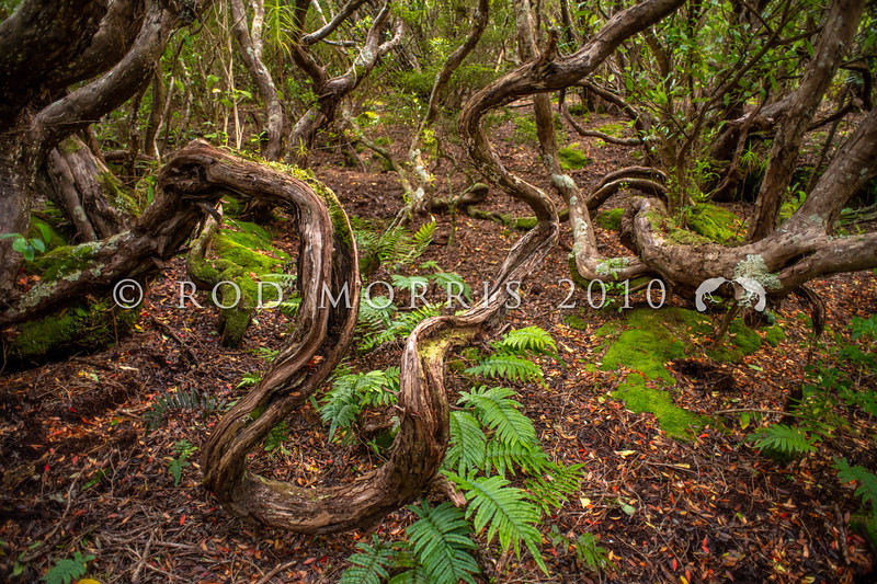 DSC_2514 Southern rata (Metrosideros umbellata) subantarctic forest interior showing the heavy twisted branches typical of ancient rata trees that have re-sprouted once fallen over. Musgrave Inlet, Auckland Islands Group *