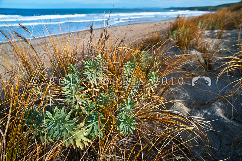 DSC_8129 Shore spurge, or waiuatua (Euphorbia glauca) growing amongst pingao on the crest of the dunes. Tavora Reserve, Palmerston *