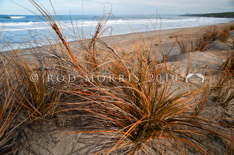 DSC_8138 Pingao, or Golden sand sedge (Ficinia spiralis) is found only in New Zealand. Once this dune plant would have been found on almost every sandy beach, from Northland to Stewart Island and the Chathams. Today only a few remnant populations remain. Tavora Reserve, Palmerston *