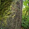 11009-06022  Kahikatea (Dacrycarpus dacrydiodes) detail of pattern on trunk. Pounawea *
