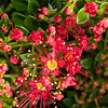 DSC_2965 Carmine rata (Metrosideros carminea) detail of crimson flowers from kauri forest in Northland *