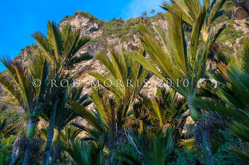 DSC_1675 Nikau (Rhopalostylis sapida) grove of palms beneath a limestone cliff face. Punakaiki *