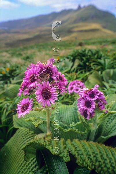 1009-33115 Giant aster (Pleurophyllum speciosum) in flower on Campbell Island