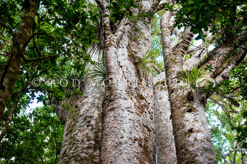 DSC_5702  Kauri (Agathis australis) a group of four separate kauri trees, that are believed to have come from four seeds from the same parent tree, and have co-existed for about 500 years. These trees have evenly spaced, slender trunks and the branches which radiate outwards, away from their close neighbours. Waipoua Forest, Northland *