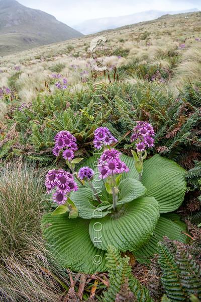 DSC_2702  Great emperor daisy (Pleurophyllum speciosum) the subantarctic's most spectacular megaherb, in flower on Col Lyall, Campbell Island *