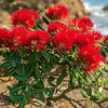 DSC_3581  Pohutukawa (Metrosideros excelsa) detail of flowers on a tree growing on the coast. Pohutukawa once formed extensive forests around our northern coastlines. Coromandel Peninsula *