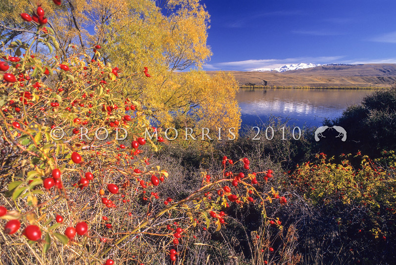 11011-00220 Mackenzie Country naturalised plants Sweet briar (Rosa rubiginosa), and Crack willow (Salix fragilis)