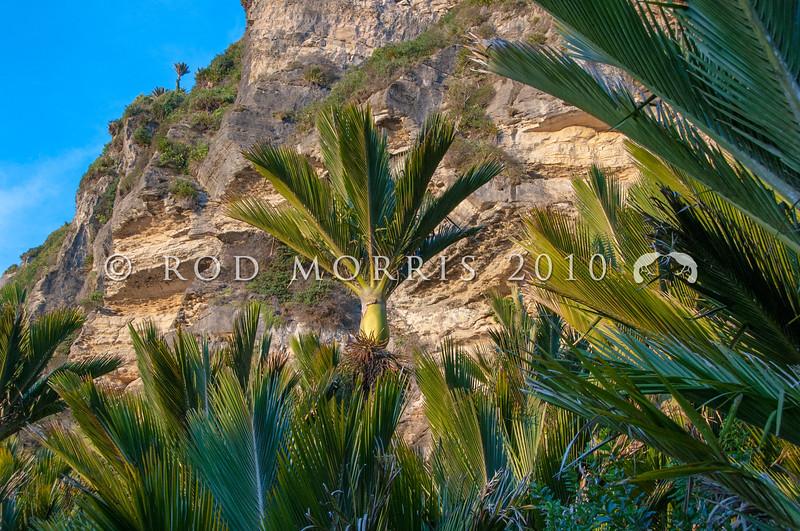 DSC_1673 Nikau (Rhopalostylis sapida) grove of palms beneath a limestone cliff face. Punakaiki *