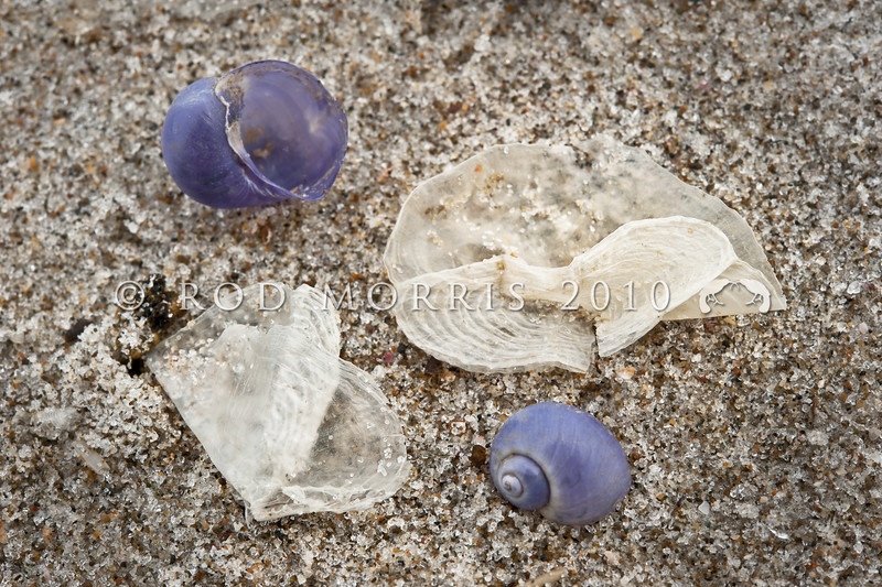 DSC_5208 By-the-wind-sailor (Velella velella) dried sails amongst Janthina shells in drift. These free-floating hydrozoans live on the surface of the open ocean. Their most obvious feature is a small stiff sail that catches the wind and propels them over the surface of the sea. In summer they may be stranded by the thousand on beaches. Pakiri Beach