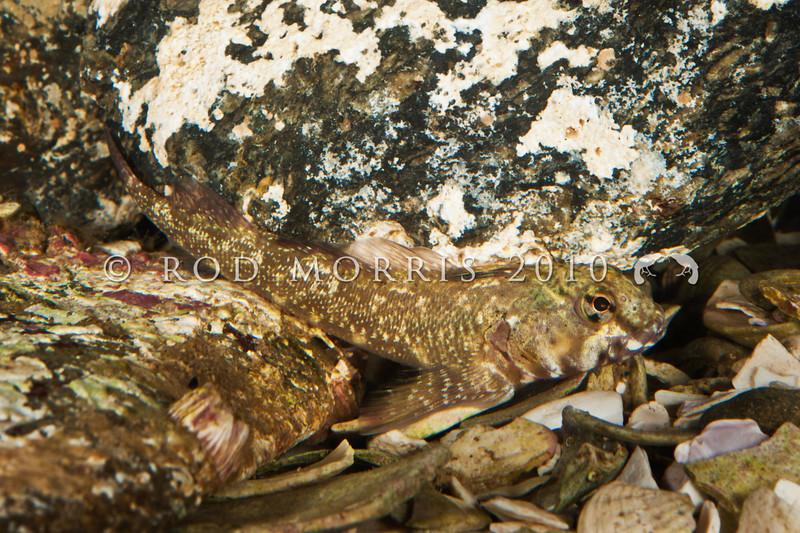 DSC_8892 Twister (Bellapiscis medius) large adult male resting.  Jones Bay, Tawharanui