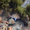 P_3160278 Snapper (Pagrus auratus) juvenile trapped in rock pool at low tide. Matai Bay, Karekare Peninsula *