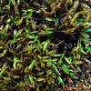 DSC_3385 Iridescent blue seaweed (Champia laingii) a low intertidal to subtidal red algae, which often occurs around the margins of shallow pools. Colour is a brilliant blue or green iridescence when fresh. Maitai Bay, Karikari Peninsula *