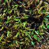 DSC_3385 Iridescent blue seaweed (Champia laingii) a low intertidal to subtidal red algae, which often occurs around the margins of shallow pools. Colour is a brilliant blue or green iridescence when fresh. Maitai Bay, Karikari Peninsula *