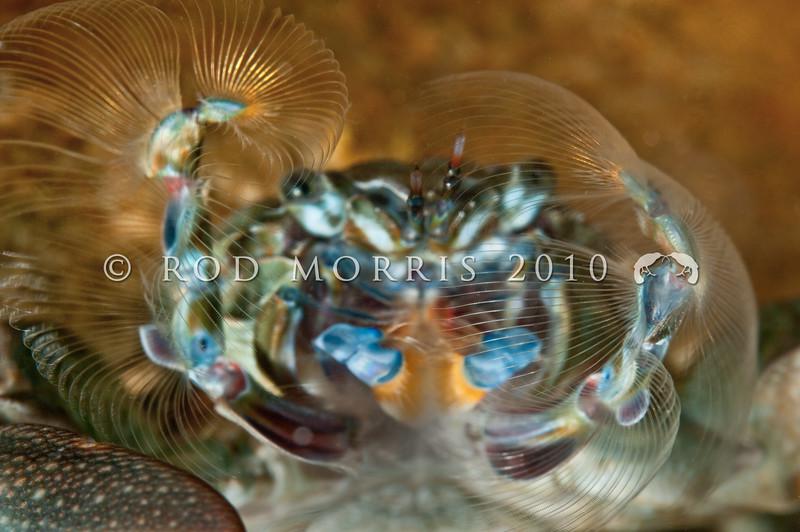 DSC_2968 Half crab, or kokoriki (Petrolisthes elongatus) detail, filter feeding. Found under rocks in the low tide zone. Aquarium Point, Otago Harbour *